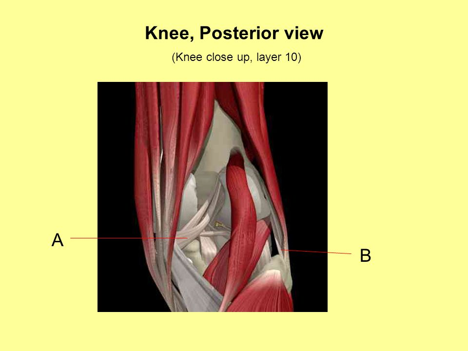 Knee, Posterior view (Knee close up, layer 10) A B