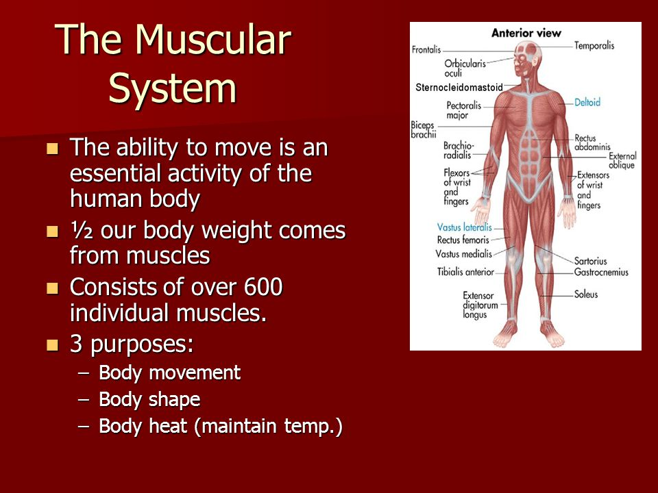 The Muscular System The ability to move is an essential activity of the human body The ability to move is an essential activity of the human body ½ ou
