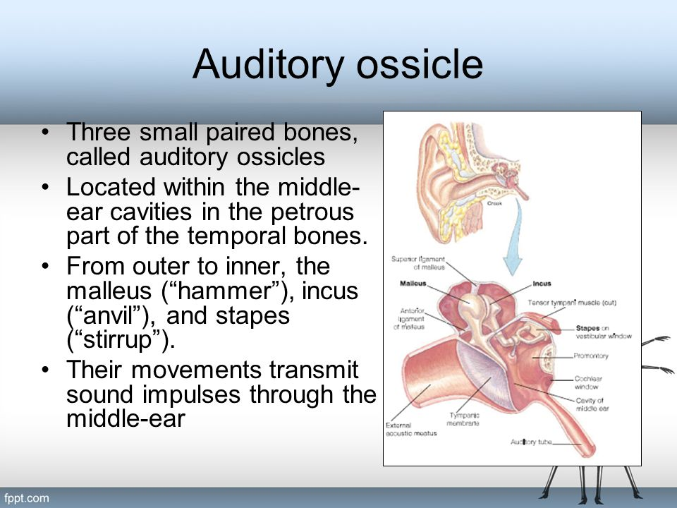 Auditory ossicle Three small paired bones, called auditory ossicles Located within the middle- ear cavities in the petrous part of the temporal bones.