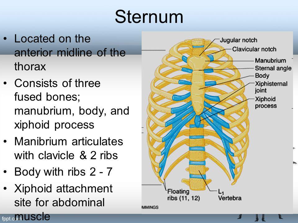 Sternum Located on the anterior midline of the thorax Consists of three fused bones; manubrium, body, and xiphoid process Manibrium articulates with c