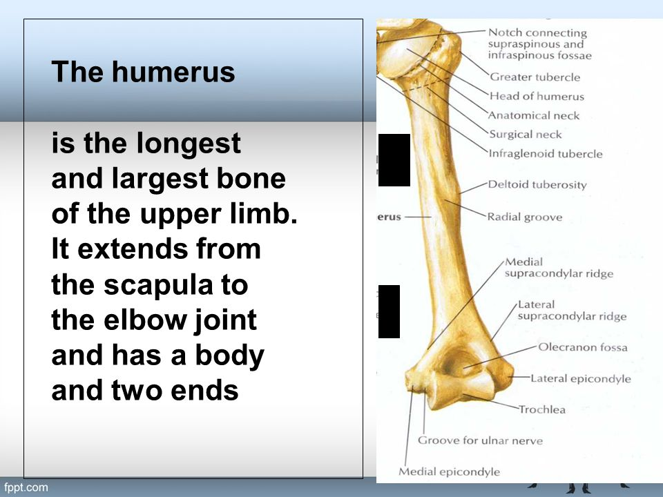 The humerus is the longest and largest bone of the upper limb. It extends from the scapula to the elbow joint and has a body and two ends