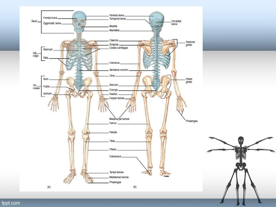 Skull Consist of: Cranial bone (8) frontal (1) parietal (2) occipital (1) temporal (2) sphenoid (1) ethmoid (1) Facial bone (14) maxilla (2) palatine (2) zygomatic (2) lacrimal (2) nasal (2) vomer (1) inferior nasal concha (2) mandible (1)