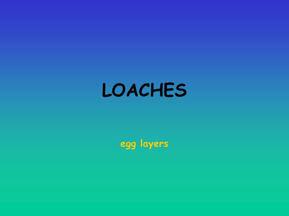 LOACHES egg layers