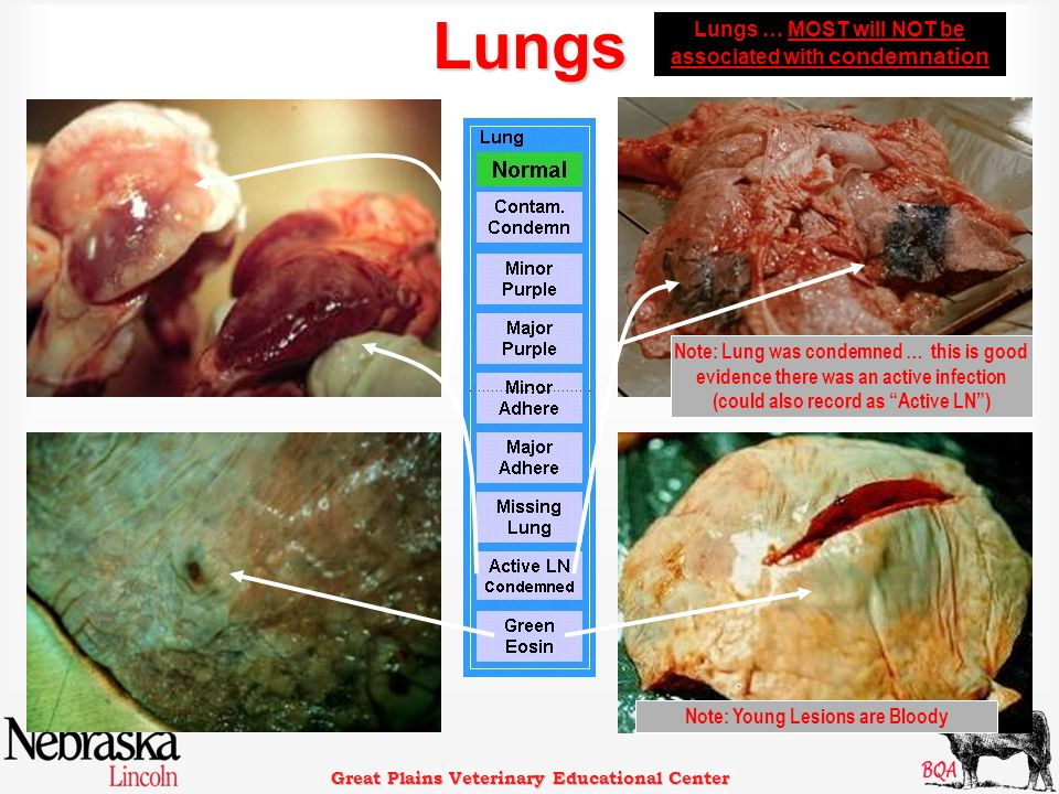 Great Plains Veterinary Educational Center Lungs Lungs … MOST will NOT be associated with condemnation Note: Lung was condemned … this is good evidence there was an active infection (could also record as Active LN ) Note: Young Lesions are Bloody