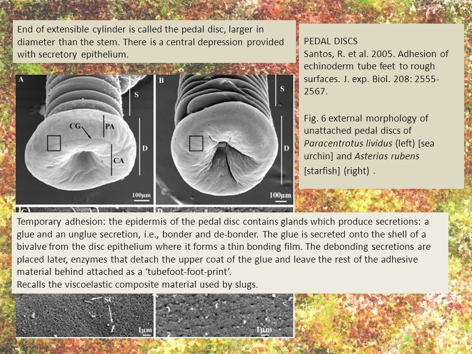 PEDAL DISCS Santos, R. et al. 2005. Adhesion of echinoderm tube feet to rough surfaces.