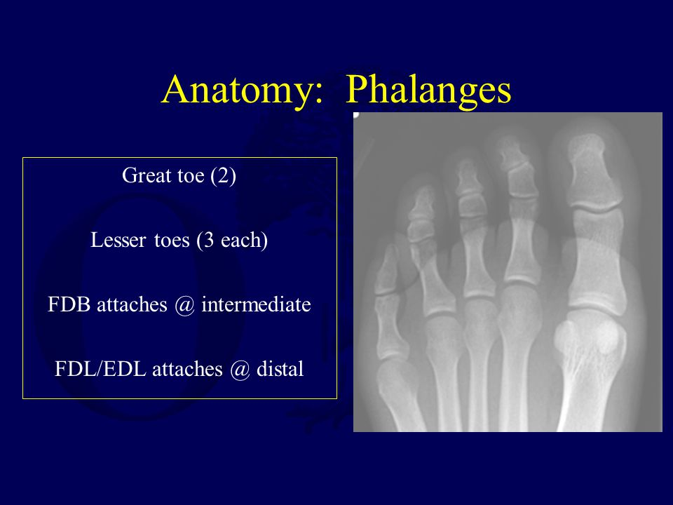 Anatomy: Phalanges Great toe (2) Lesser toes (3 each) FDB attaches @ intermediate FDL/EDL attaches @ distal