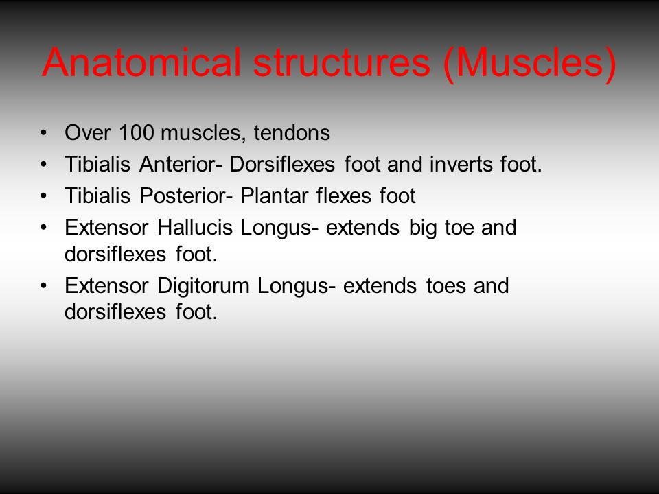 Anatomical structures (Muscles) Over 100 muscles, tendons Tibialis Anterior- Dorsiflexes foot and inverts foot.