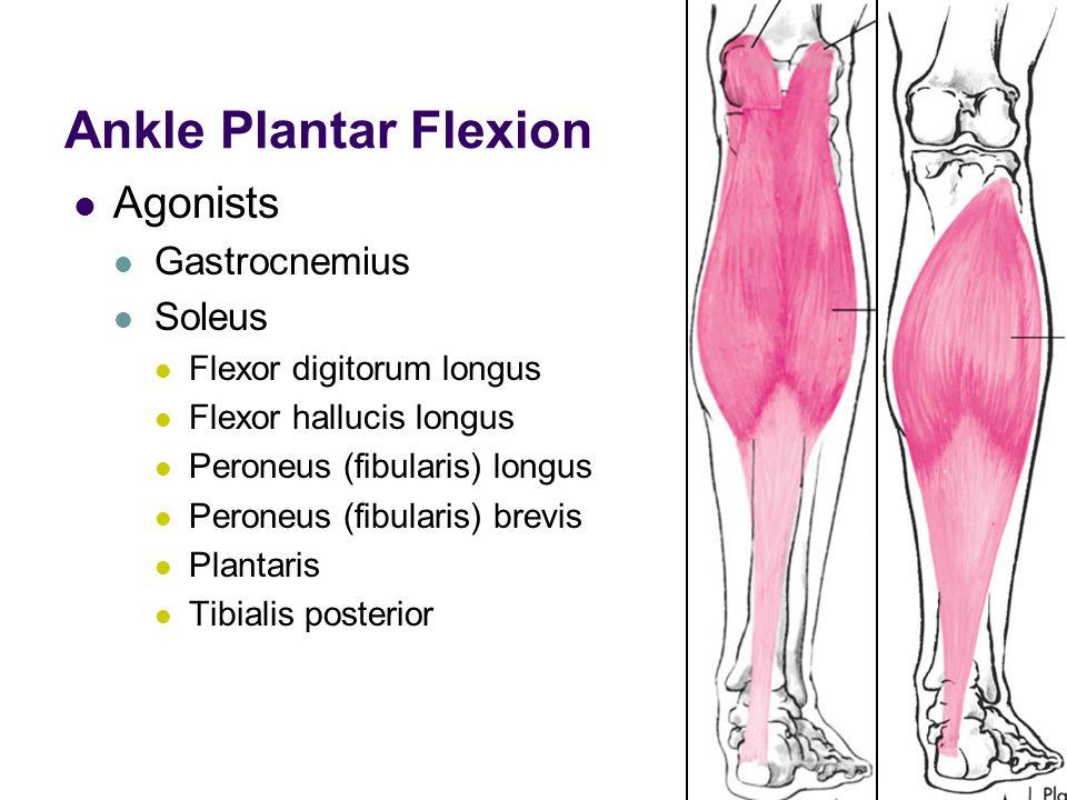 Ankle Plantar Flexion Agonists Gastrocnemius Soleus Flexor digitorum longus Flexor hallucis longus Peroneus (fibularis) longus Peroneus (fibularis) br