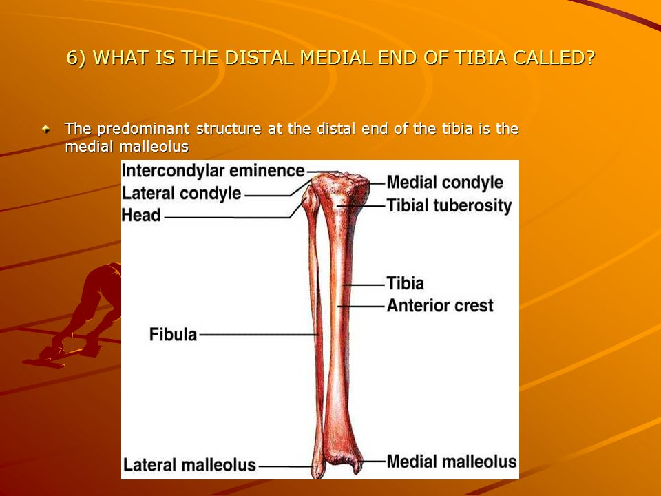 7) WHERE DOES THE TIBIA CONNECT TO THE FIBULA MEDIALLY.