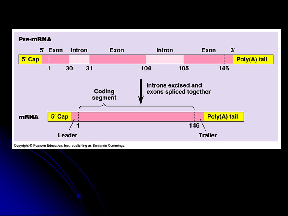 III. Transcription D. RNA splicing 1. Introns = non-coding sections 2.