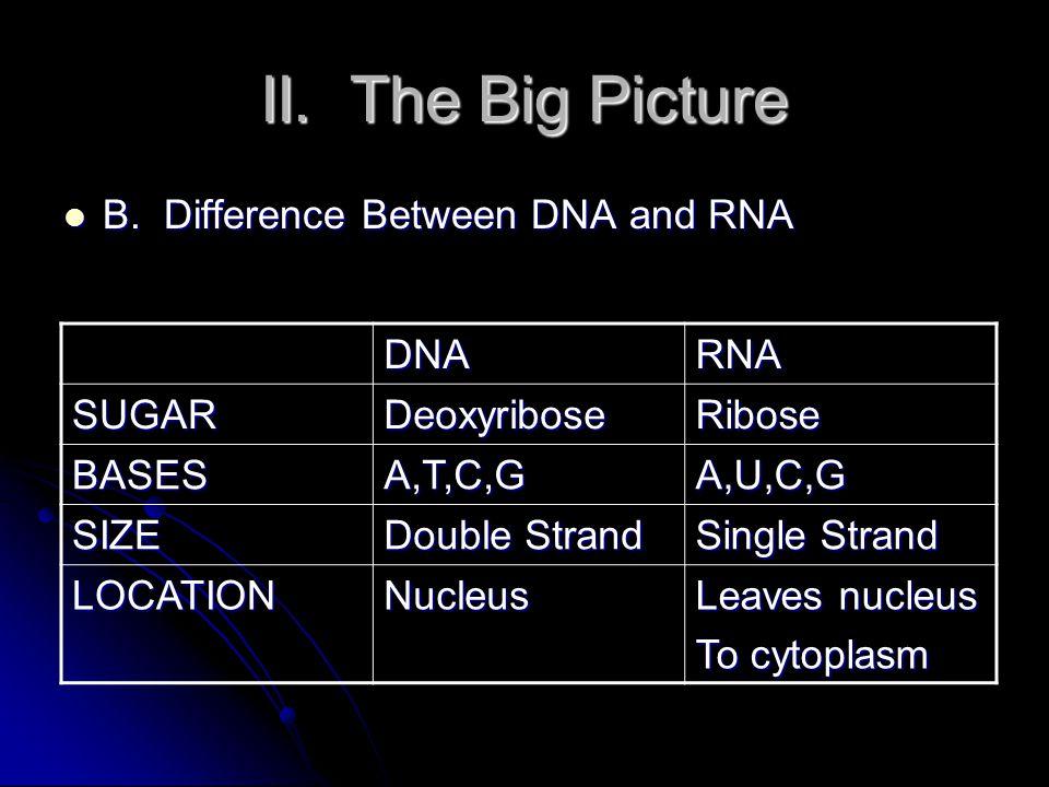 II. The Big Picture Translation Translation mRNAProtein/(polypeptide) Ribosome Ribosome