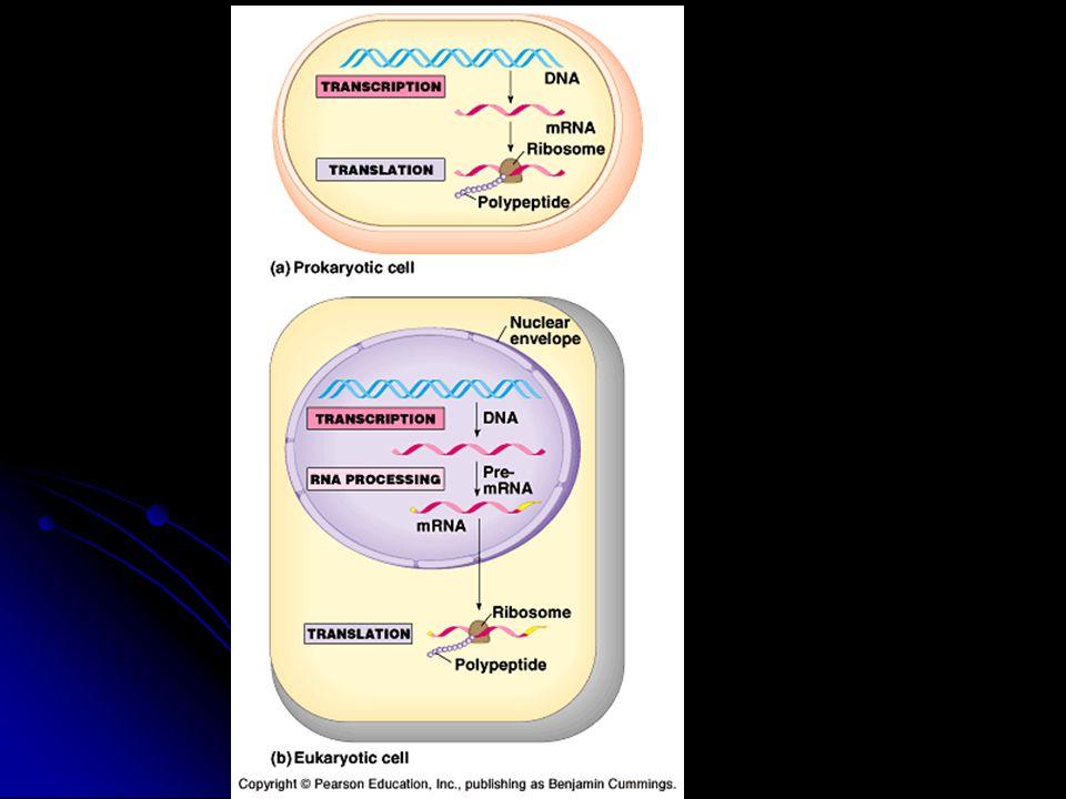 III.Transcription C. Alteration of mRNA ends (eukaryotes) 1.