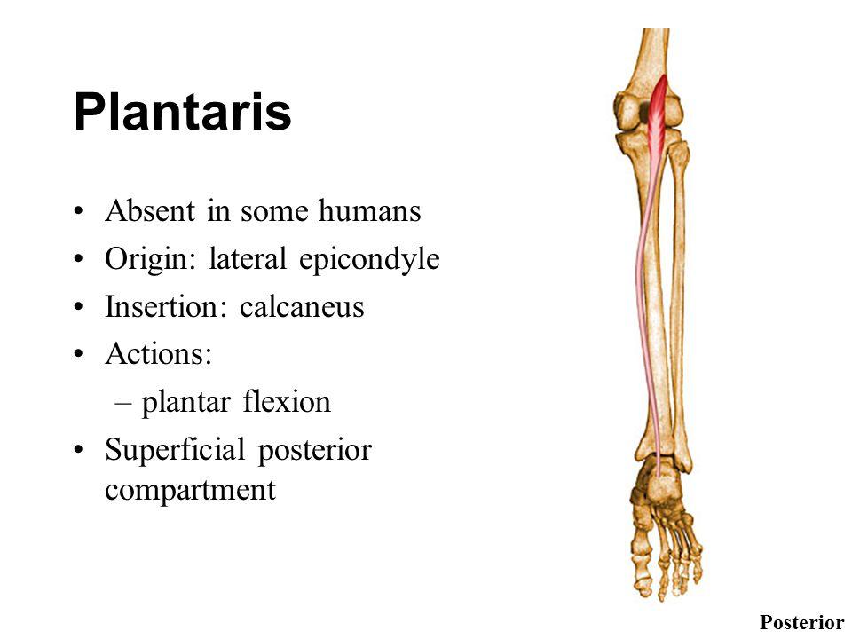 Plantaris Absent in some humans Origin: lateral epicondyle Insertion: calcaneus Actions: –plantar flexion Superficial posterior compartment Posterior