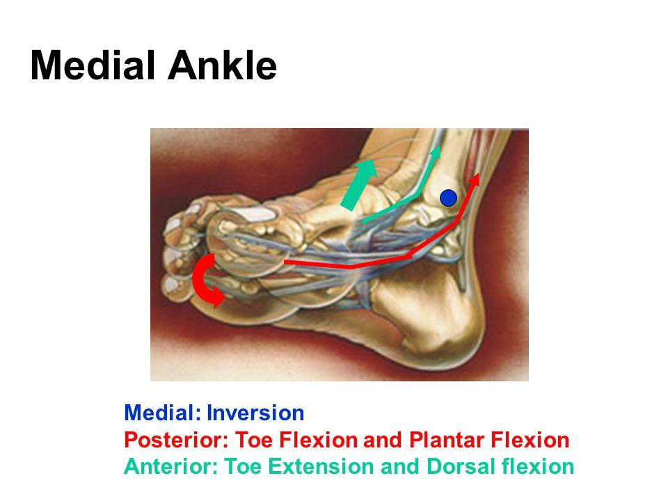 Medial Ankle Medial: Inversion Posterior: Toe Flexion and Plantar Flexion Anterior: Toe Extension and Dorsal flexion
