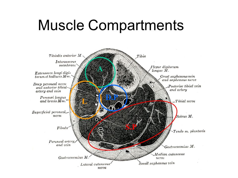 Muscle Compartments A L D.P S.P