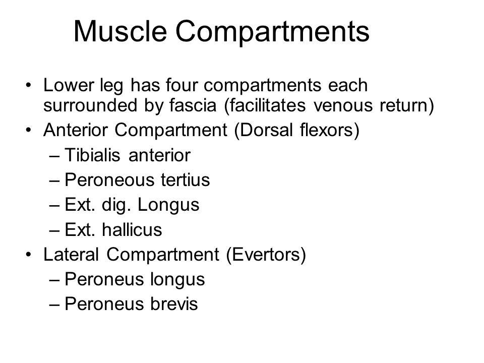 Lower leg has four compartments each surrounded by fascia (facilitates venous return) Anterior Compartment (Dorsal flexors) –Tibialis anterior –Perone