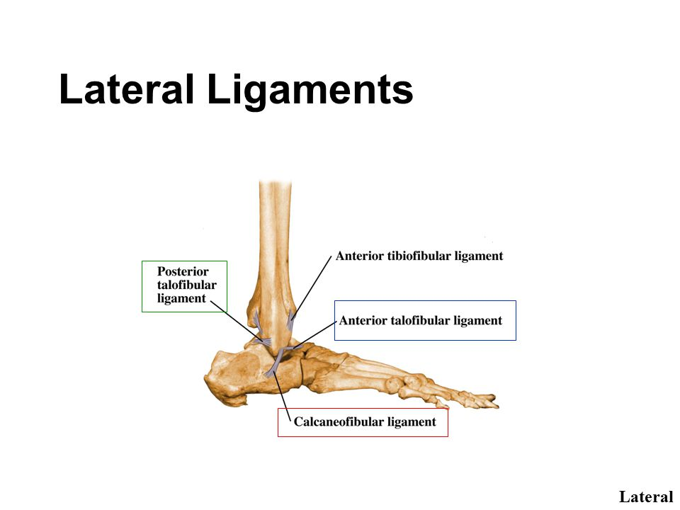 Lateral Ligaments Lateral