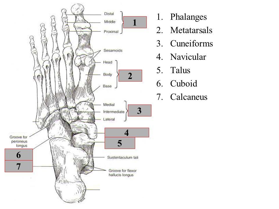 4 5 7 3 6 2 1 1.Phalanges 2.Metatarsals 3.Cuneiforms 4.Navicular 5.Talus 6.Cuboid 7.Calcaneus