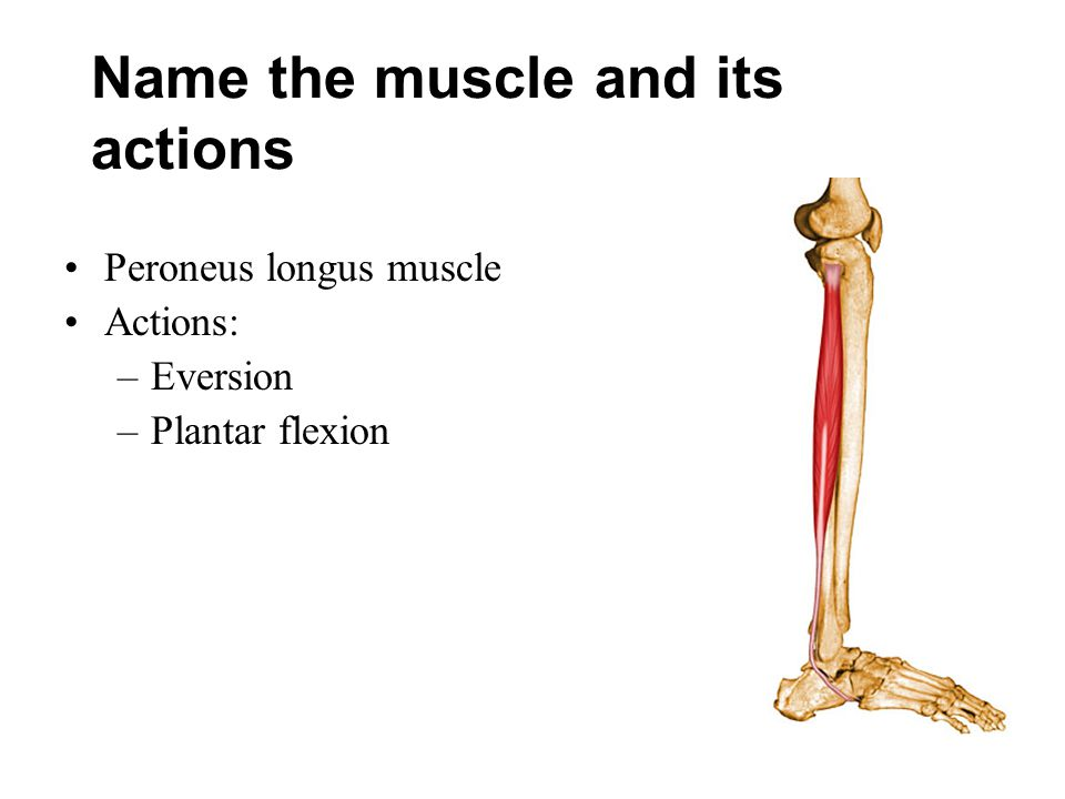 Name the muscle and its actions Peroneus longus muscle Actions: –Eversion –Plantar flexion
