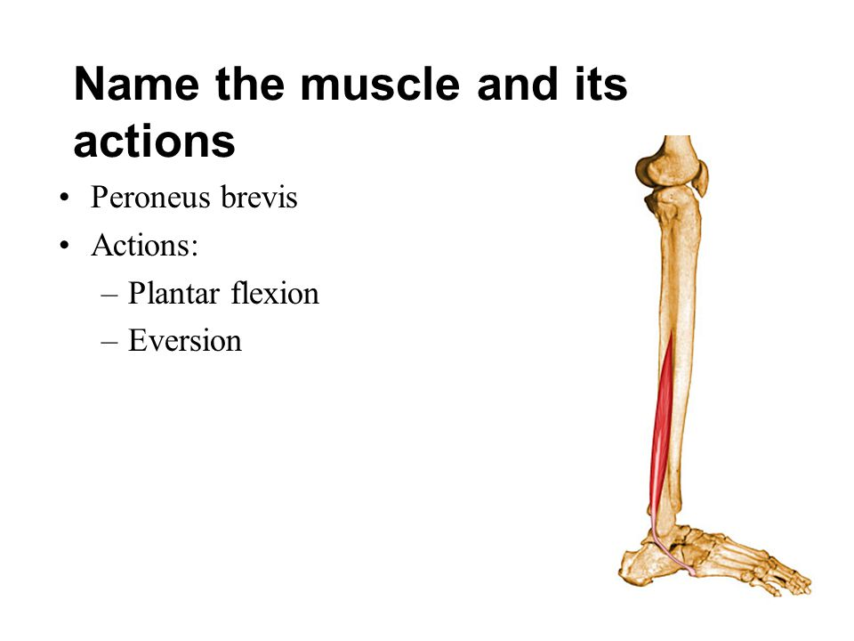 Name the muscle and its actions Peroneus brevis Actions: –Plantar flexion –Eversion