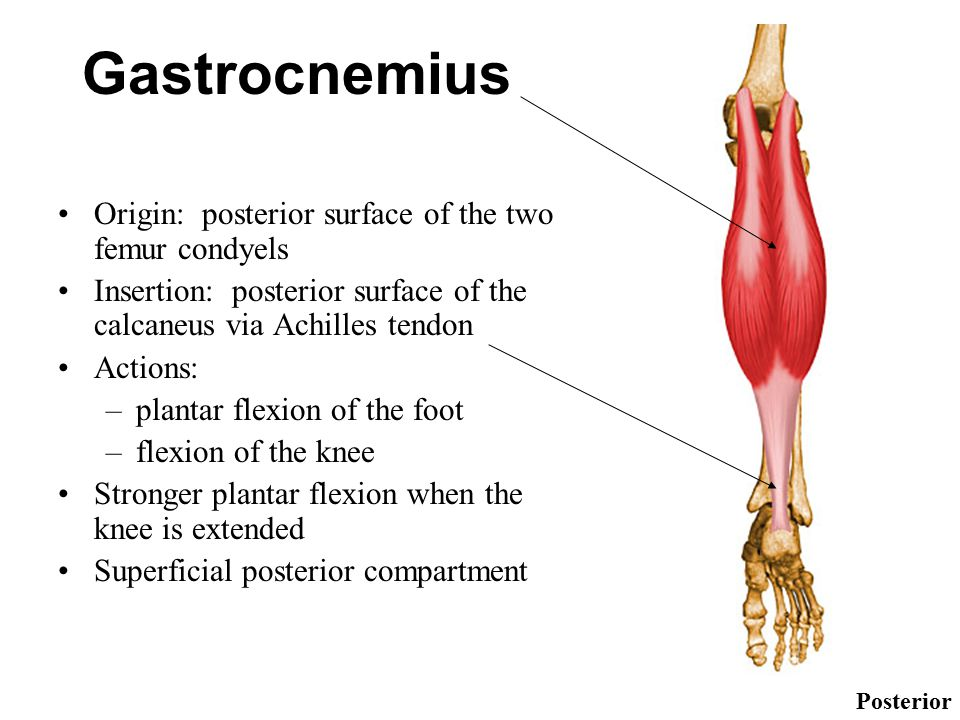 Gastrocnemius Origin: posterior surface of the two femur condyels Insertion: posterior surface of the calcaneus via Achilles tendon Actions: –plantar flexion of the foot –flexion of the knee Stronger plantar flexion when the knee is extended Superficial posterior compartment Posterior