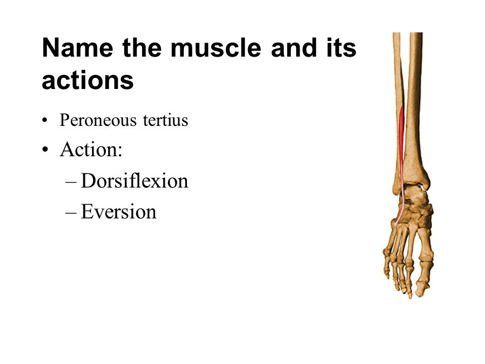 Name the muscle and its actions Peroneous tertius Action: –Dorsiflexion –Eversion