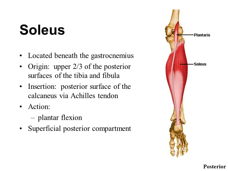 Soleus Located beneath the gastrocnemius Origin: upper 2/3 of the posterior surfaces of the tibia and fibula Insertion: posterior surface of the calcaneus via Achilles tendon Action: –plantar flexion Superficial posterior compartment Posterior