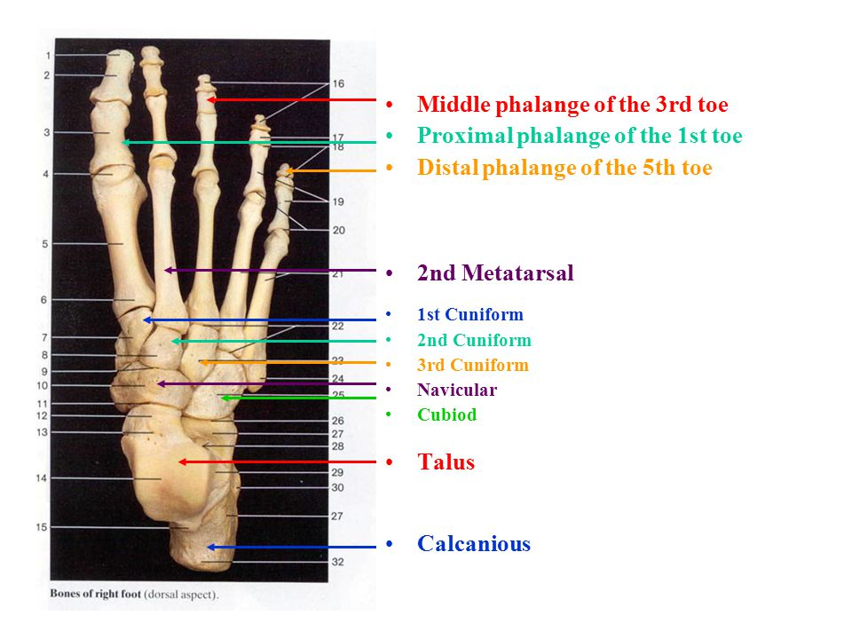 Middle phalange of the 3rd toe Proximal phalange of the 1st toe Distal phalange of the 5th toe 2nd Metatarsal 1st Cuniform 2nd Cuniform 3rd Cuniform Navicular Cubiod Talus Calcanious