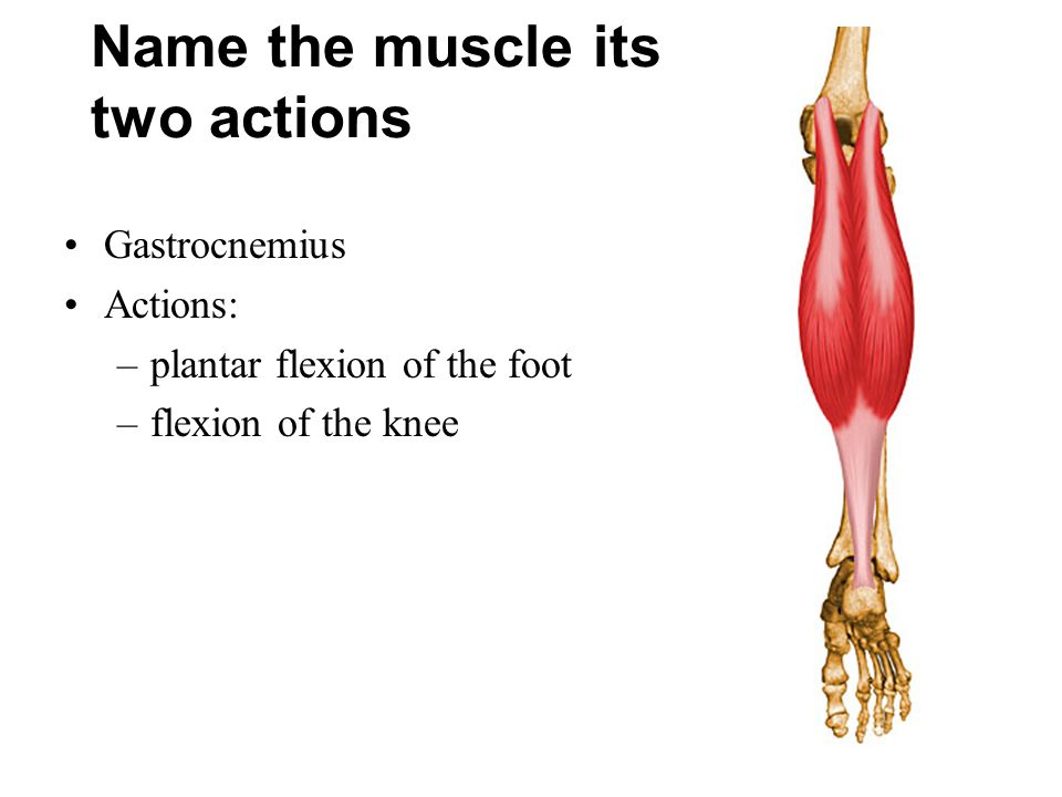 Name the muscle its two actions Gastrocnemius Actions: –plantar flexion of the foot –flexion of the knee