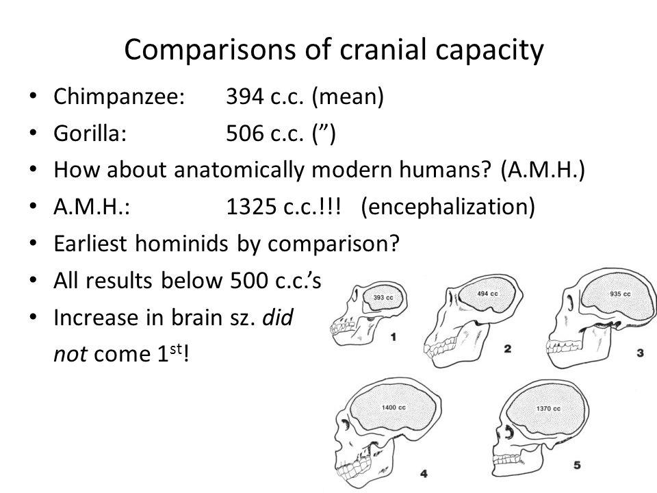 Comparisons of cranial capacity Chimpanzee:394 c.c.