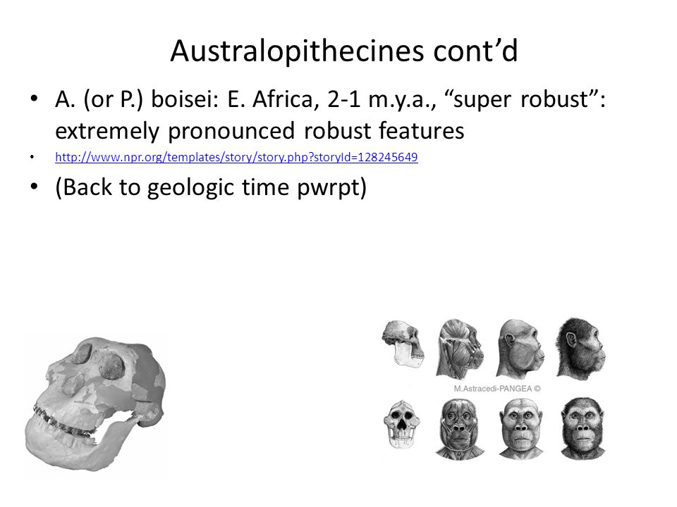 "Australopithecines cont'd A. (or P.) boisei: E. Africa, 2-1 m.y.a., ""super robust"": extremely pronounced robust features http://www.npr.org/templates/"