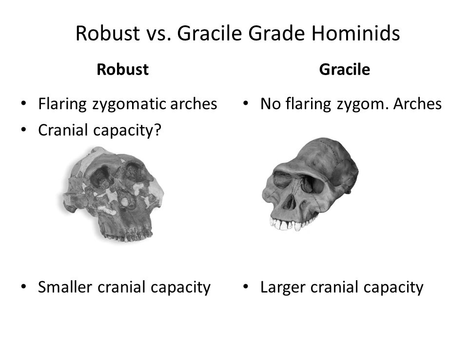 Robust vs. Gracile Grade Hominids Robust Flaring zygomatic arches Cranial capacity? Smaller cranial capacity Gracile No flaring zygom. Arches Larger c