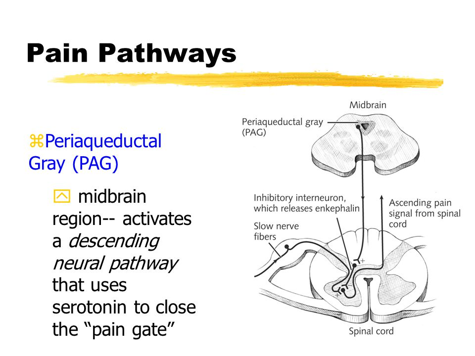 Pain Pathways zPeriaqueductal Gray (PAG) y midbrain region-- activates a descending neural pathway that uses serotonin to close the pain gate