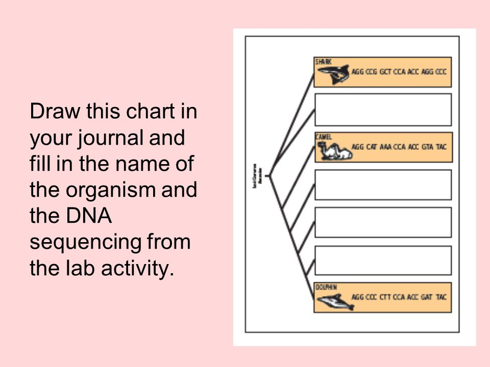 Draw this chart in your journal and fill in the name of the organism and the DNA sequencing from the lab activity.