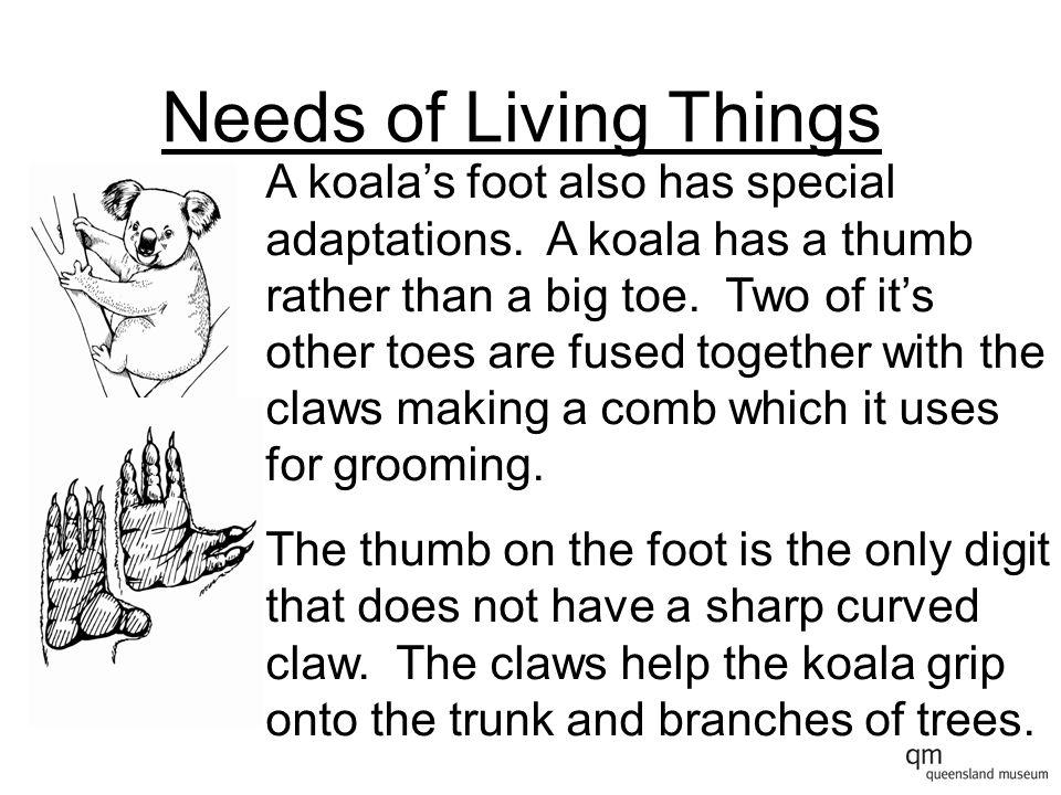 Needs of Living Things A koala has two thumbs.