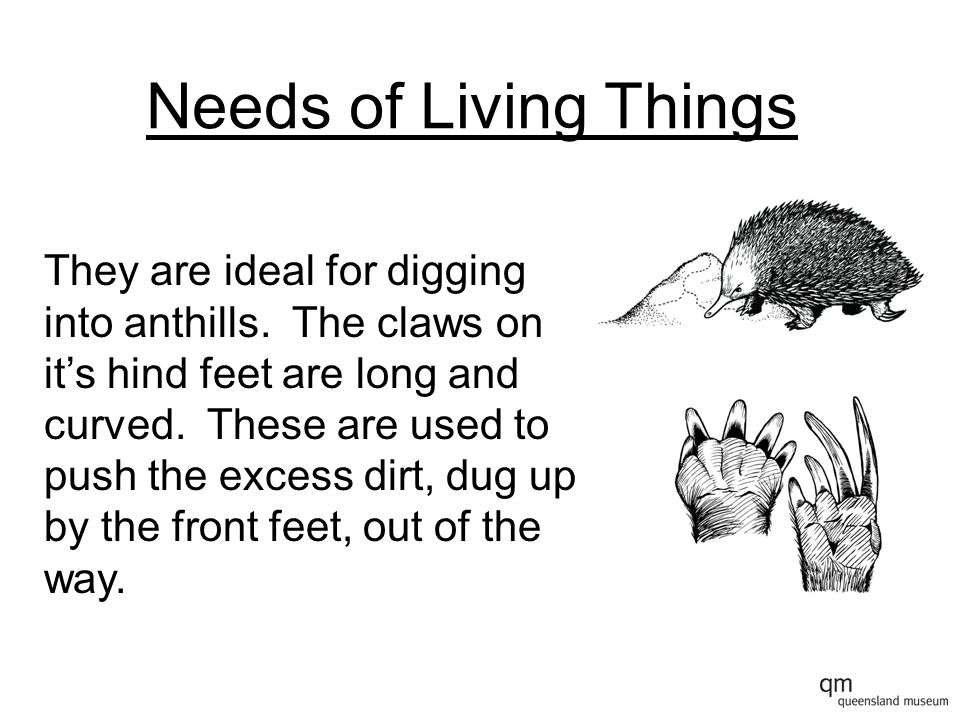 Needs of Living Things They are ideal for digging into anthills. The claws on it's hind feet are long and curved. These are used to push the excess di