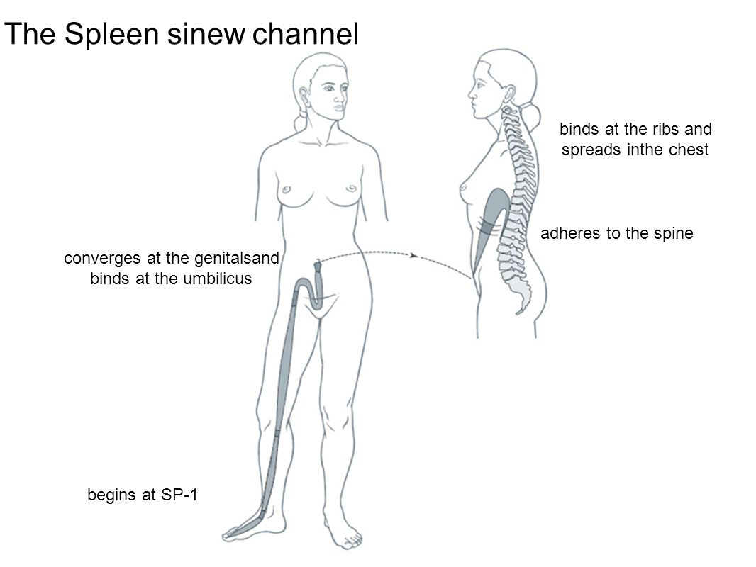 converges at the genitalsand binds at the umbilicus binds at the ribs and spreads inthe chest adheres to the spine begins at SP-1 The Spleen sinew cha