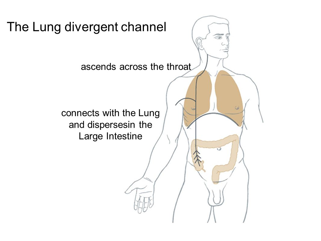 ascends across the throat connects with the Lung and dispersesin the Large Intestine The Lung divergent channel