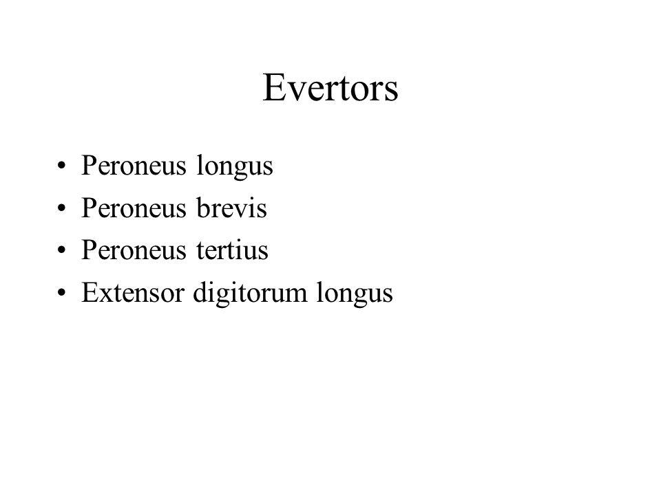 Evertors Peroneus longus Peroneus brevis Peroneus tertius Extensor digitorum longus
