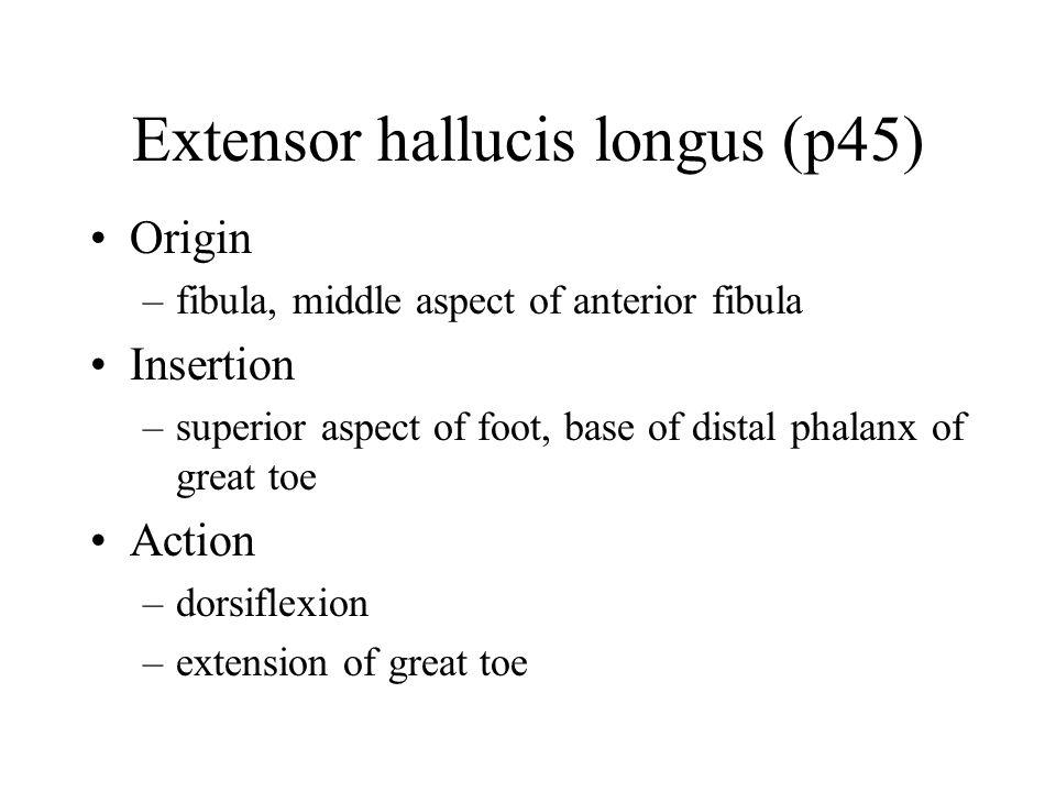 Extensor hallucis longus (p45) Origin –fibula, middle aspect of anterior fibula Insertion –superior aspect of foot, base of distal phalanx of great toe Action –dorsiflexion –extension of great toe