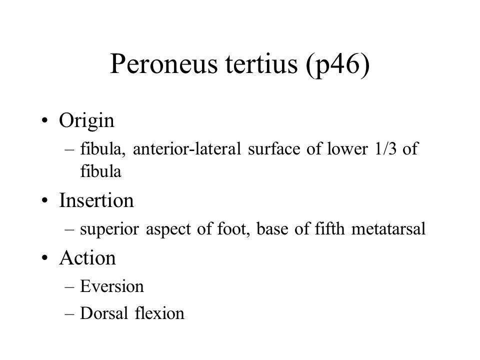 Peroneus tertius (p46) Origin –fibula, anterior-lateral surface of lower 1/3 of fibula Insertion –superior aspect of foot, base of fifth metatarsal Action –Eversion –Dorsal flexion