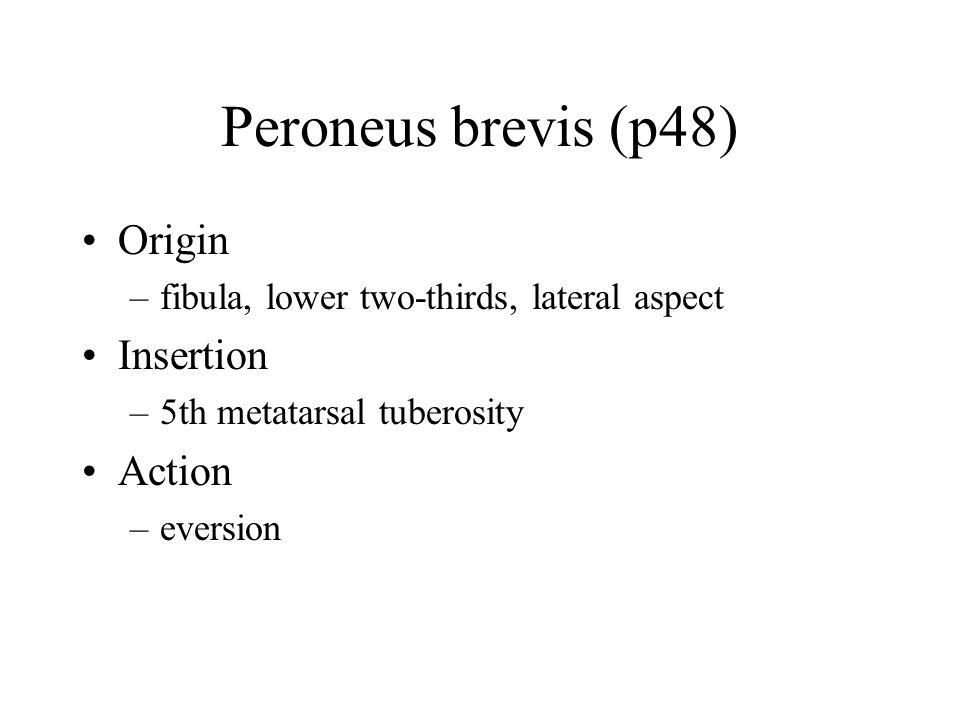 Peroneus brevis (p48) Origin –fibula, lower two-thirds, lateral aspect Insertion –5th metatarsal tuberosity Action –eversion