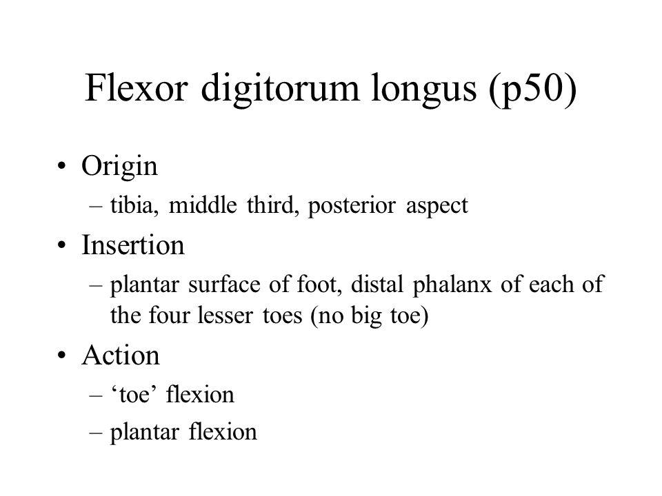 Flexor digitorum longus (p50) Origin –tibia, middle third, posterior aspect Insertion –plantar surface of foot, distal phalanx of each of the four lesser toes (no big toe) Action –'toe' flexion –plantar flexion