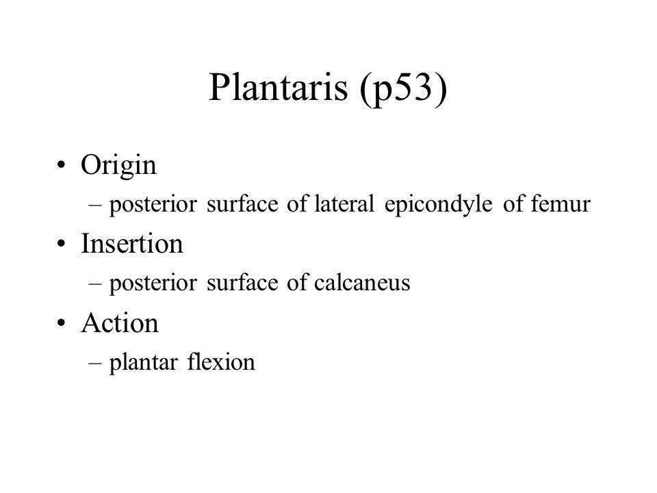 Plantaris (p53) Origin –posterior surface of lateral epicondyle of femur Insertion –posterior surface of calcaneus Action –plantar flexion