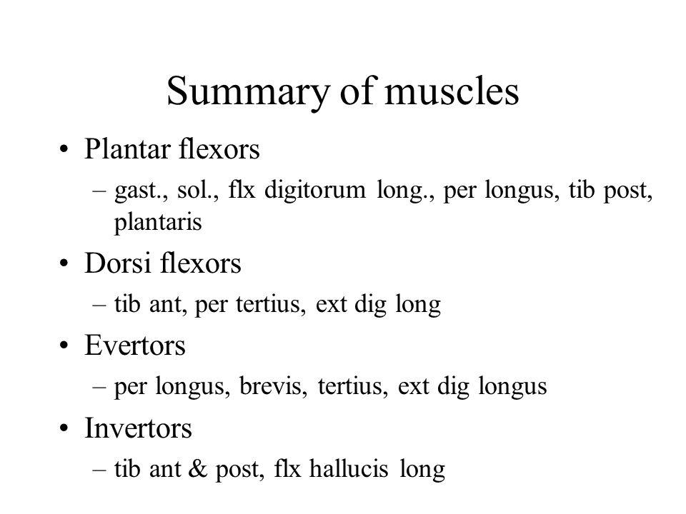 Summary of muscles Plantar flexors –gast., sol., flx digitorum long., per longus, tib post, plantaris Dorsi flexors –tib ant, per tertius, ext dig long Evertors –per longus, brevis, tertius, ext dig longus Invertors –tib ant & post, flx hallucis long