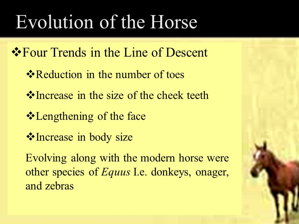Evolution of the Horse  Four Trends in the Line of Descent  Reduction in the number of toes  Increase in the size of the cheek teeth  Lengthening