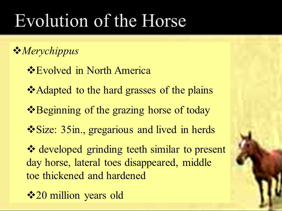Evolution of the Horse  Merychippus  Evolved in North America  Adapted to the hard grasses of the plains  Beginning of the grazing horse of today