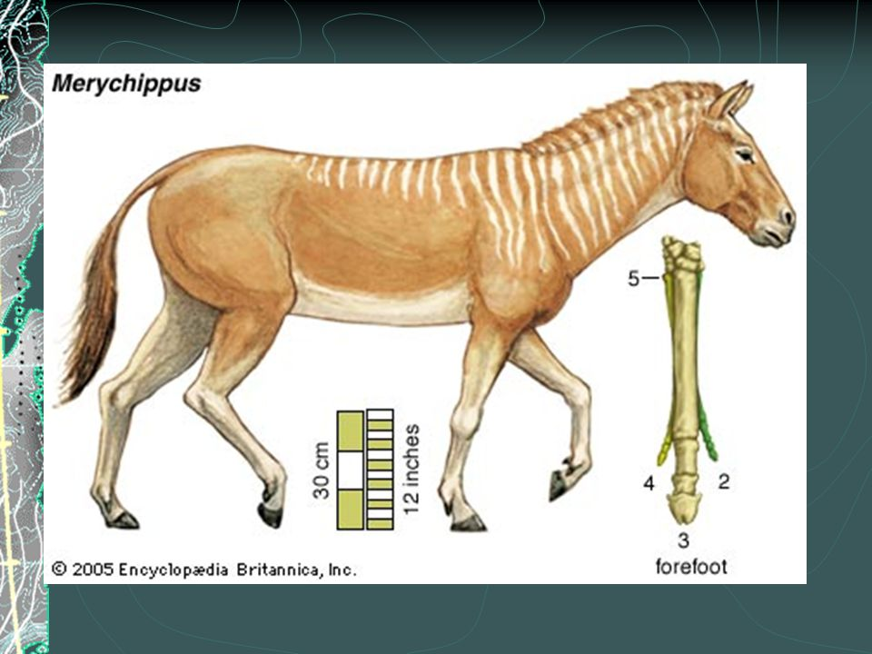 Evolution of the Horse  Pliohippus  First true monodactyl (one-toed animal)  Teeth and limbs were the closest to present-day horse  Spread into S.