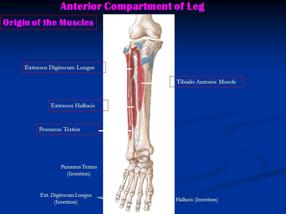Anterior Compartment of Leg Tibialis Anterior Muscle Extensor Digitorum Longus Extensor Hallucis Peroneus Tertius Origin of the Muscles Ext.