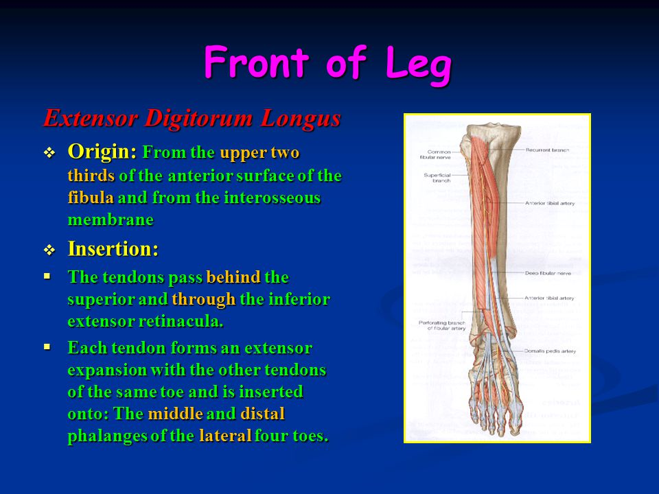 Front of Leg Extensor Digitorum Longus  Origin: From the upper two thirds of the anterior surface of the fibula and from the interosseous membrane  Insertion:  The tendons pass behind the superior and through the inferior extensor retinacula.